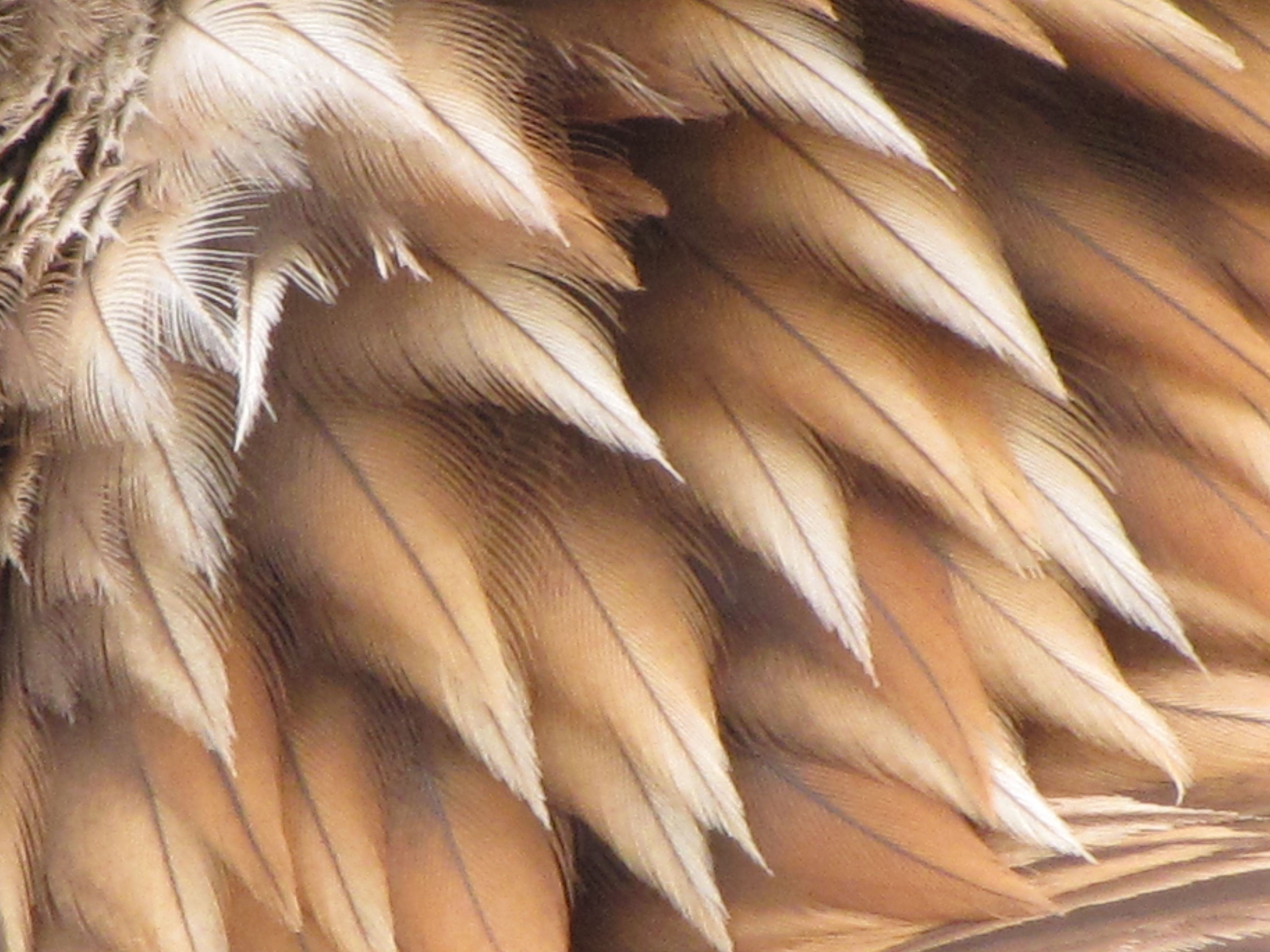 Golden_Eagle_feathers.jpg